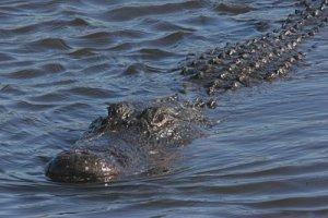 1828800-alligator-swiming-in-the-florida-everglades